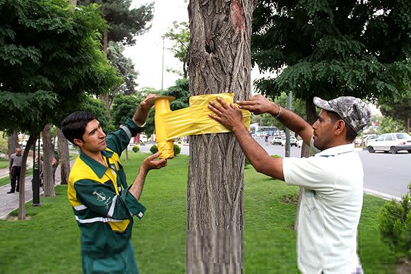 مدیرعامل سازمان پارک ها و فضای سبز شهرداری کرج:  شهروندان به نوار زرد رنگ روی تنه درختان  دست نزنند